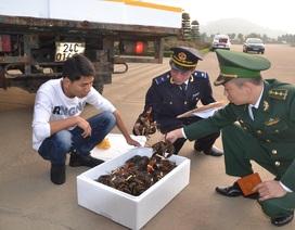 Sáng mồng 1 Tết: Xuất khẩu gần 5 tấn tôm hùm tươi sống qua cửa khẩu quốc tế Lào Cai