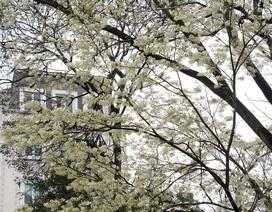Hà Nội vào mùa hoa sưa trắng