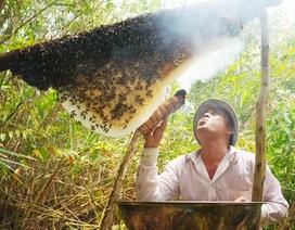 Đề nghị đưa 270 thùng ong nuôi ra khỏi rừng U Minh Hạ