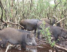 Mê mẩn đàn lợn rừng tiền tỷ ở miền biển