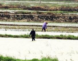 Mưa lụt khác thường nhấn chìm hàng trăm ha lúa mới gieo sạ