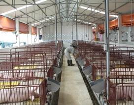 Dùng kháng sinh để trị bệnh cho vật nuôi phải theo đơn của bác sĩ thú y
