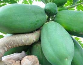 Đu đủ bonsai tán siêu độc tiền triệu hút hàng trước Tết