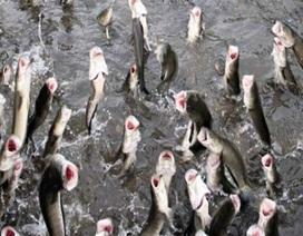 Đàn cá lóc biết nhảy múa ở Cần Thơ bị bán thịt giá 70.000 đồng/kg