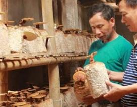 """""""Ăn, ngủ"""" với nấm, lão nông mỗi tháng bỏ túi gần 1.000 USD"""