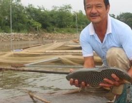 Chơi sang cho cá chép ăn đậu Úc, nông dân Thái Bình thu tiền tỷ