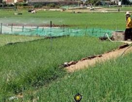 Trồng tỏi nơi đảo xa, nhà nông thu 1-1,3 tỷ đồng/ha