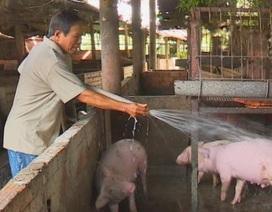 Giá lợn hôm nay 15/7: Giá vọt lên hơn 1 triệu đồng/tạ, lái buôn tới tận chuồng bắt lợn