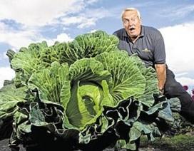Tự nhiên trồng được bắp cải khổng lồ gấp 50 lần bình thường