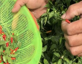 """Ngắm """"vườn"""" ớt đặc sản 400.000 đồng/kg, dân không có đủ để bán"""