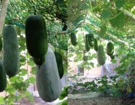 Vườn bí sai trĩu quả nặng đến mức muốn sập của bố Việt trẻ ở Séc
