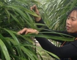 """Khổ công trồng hoa """"giấc mộng vua Trần"""", lãi hơn 200 triệu/năm"""