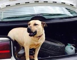 Úc: Chó pit bull cắn khách, chủ lao vào cứu liền bị cắn chết