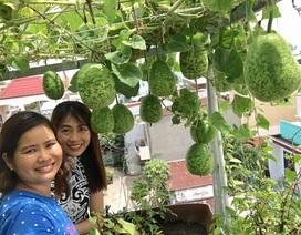 Trồng 2 gốc bầu trên sân thượng bà mẹ Sài Gòn thu 100kg/vụ