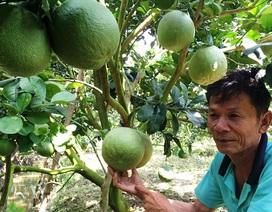 Thu hơn 5 tỷ đồng/năm nhờ trồng bưởi da xanh