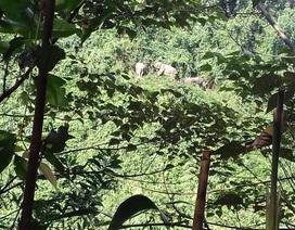 Đàn voi rừng xuất hiện ở bìa rừng để kiếm ăn