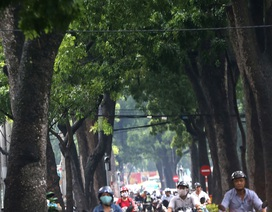 Ngắm hàng cây cổ thụ trăm tuổi sắp bị đốn hạ ở Sài Gòn
