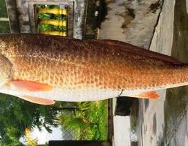 Cần thủ suýt làm thịt con cá nghi là sủ vàng quý hiếm