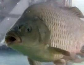 Hóa chất Trung Quốc biến cá đông lạnh bơi lội trở lại