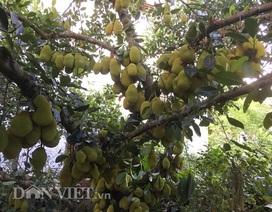 """Cụ cây """"vàng ròng"""": Mỗi năm cho trăm quả, thu về trăm triệu đồng"""