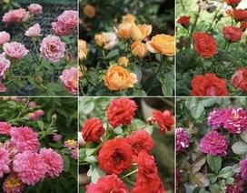 Chồng trích lương, chiều vợ xuất ngoại sưu tập 500 loài hoa hồng