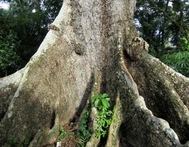 Cây bàng đá 700 năm tuổi chết khô trả giá 2 tỷ đồng