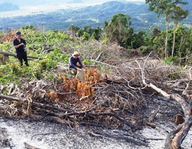 Chặt phá hàng chục héc ta rừng phòng hộ để trồng keo