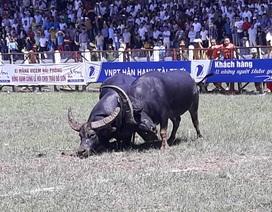 Chung kết Lễ hội chọi trâu Đồ Sơn 2017 diễn ra trong an toàn