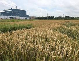 Bắc Giang: Đốt lò làm chết lúa, Công ty Thạch Bàn bị yêu cầu bồi thường khẩn cấp cho dân