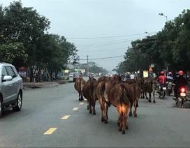 Xử lí vấn nạn bò thả rông: Chỉ thị của lãnh đạo tỉnh chưa đủ mạnh?
