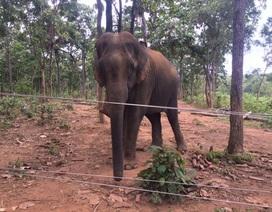 Công ty du lịch tặng voi cho Trung tâm bảo tồn voi Đắk Lắk