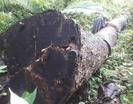 """Tỉnh chỉ đạo kiểm tra việc rừng bị """"xẻ thịt"""" ở Kbang"""