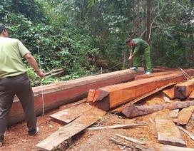 Để lâm tặc khai thác gỗ, chủ rừng phải chịu trách nhiệm