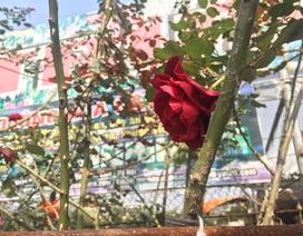 Độc đáo thú chơi hoa hồng cổ có giá hàng chục triệu đồng