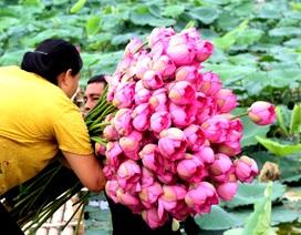 Kiếm tiền triệu mỗi ngày nhờ trồng sen Hồ Tây