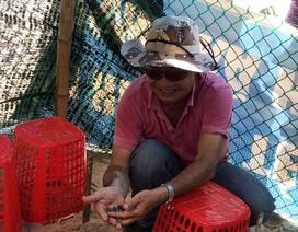 Ấp nở thành công 66 cá thể rùa biển được chuyển vị từ Côn Đảo