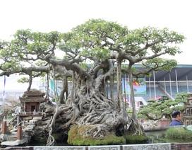 Đại gia Hà Nội đổi 10 cây vàng mua cây sanh cổ đẹp hiếm có
