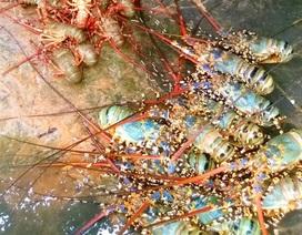 Ngư dân mất hàng chục tỷ đồng vì tôm hùm nuôi chết hàng loạt
