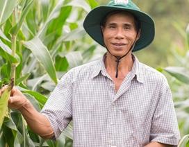 Giải pháp nâng cao giá trị cạnh tranh ngô thương phẩm cho khu vực Sơn La
