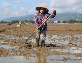 Nông dân Bình Định gượng dậy sau sự cố vỡ đê