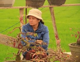 """Bình Định: Mai Tết """"đắt vườn, ế chợ"""""""