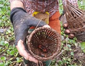 Ninh Bình: Nông dân bắt cáy kiếm tiền triệu mỗi tháng