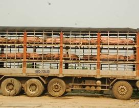 Phát hiện gần 7 tấn lợn nhiễm bệnh lở mồm, long móng.