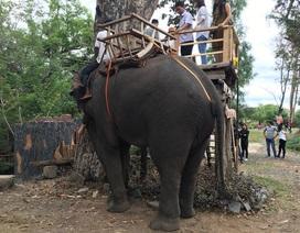 Khách du lịch đến Buôn Đôn cưỡi voi tăng mạnh dịp Tết nguyên đán