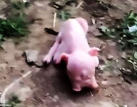 Lợn hai đầu xuất hiện ở Trung Quốc