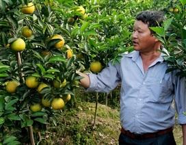 """Các loại cam """"siêu"""" ngon hội tụ ở Hội chợ Cam Hưng Yên"""
