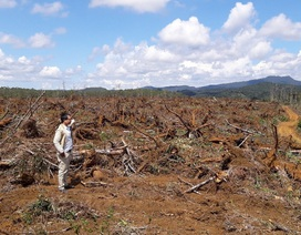"""Chặt bỏ hơn 100ha rừng thông để trồng mắc ca: Tỉnh """"khất"""" nhiều câu hỏi"""
