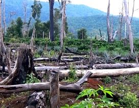 """""""Bức tử"""" cây rừng để… làm rẫy"""