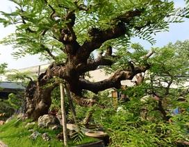 """Ngỡ ngàng với cây me """"ba đầu rồng"""" xưa nay hiếm ở Sài Gòn"""