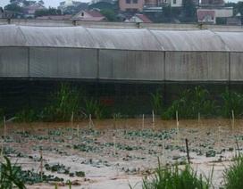 Mưa lớn nhấn chìm nhiều diện tích rau màu của người dân Lâm Đồng
